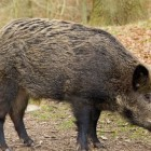 Feral swine. Image: Michigan Department of Natural Resources
