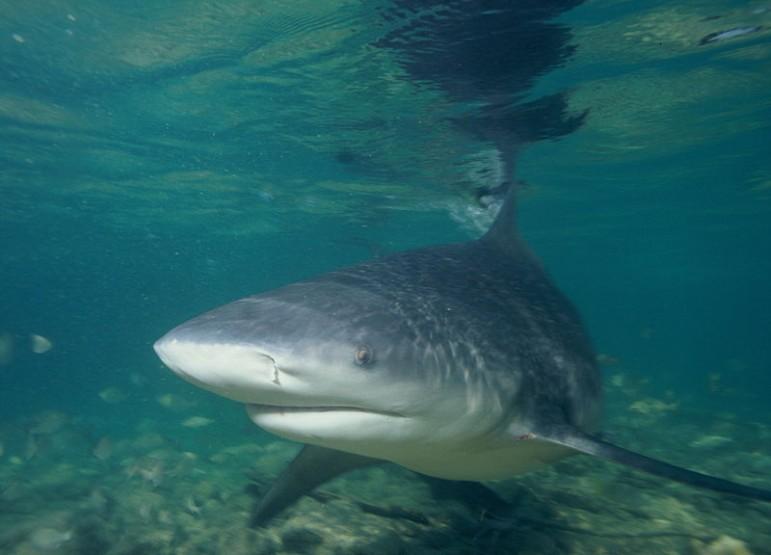 A bull shark off the coast of the Bahamas. Image: Wikimedia Commons