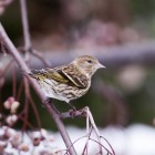 Perched pine siskin