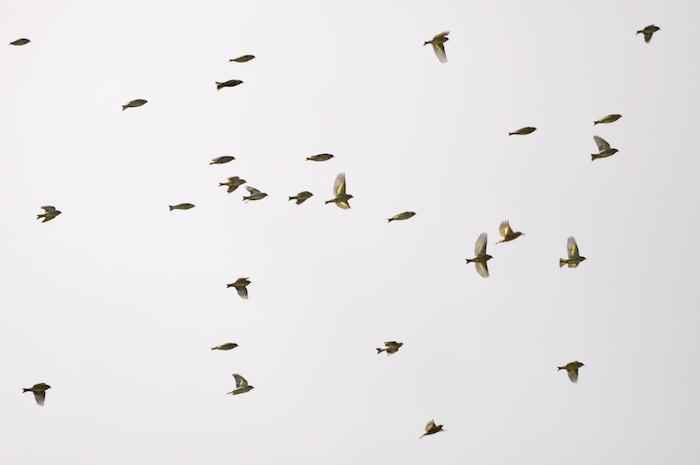 Pine siskin flock