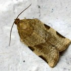 The spruce budworm moth is returning to Michigan forests after a 30-year absence. (entomart Wikimedia Commons)