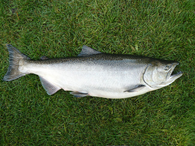 Great lakes salmon face spawning season challenges great for Chinook salmon fishing