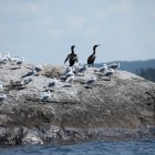 double-crested cormorants and seagulls