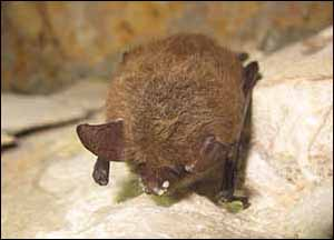 Northern long-eared bat with White Nose Syndrome. Image: University of Illinois/Steve Taylor