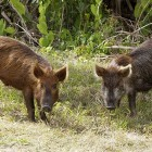 Feral hogs tagged with trackers have led researchers to their herds. Image: Creative Commons