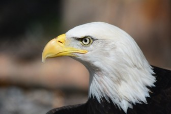 Bald Eagles are exposed to lead fragments when they feed on gut piles left by hunters.