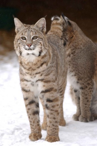 "Bobcat or ""lynx rufus"" -- Image: Ohio Department of Natural Resources"