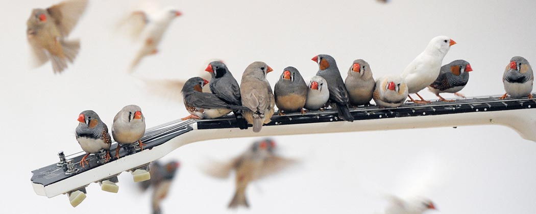 Some funky little Zebra Finches play some funky little tunes. Image: Getty Images