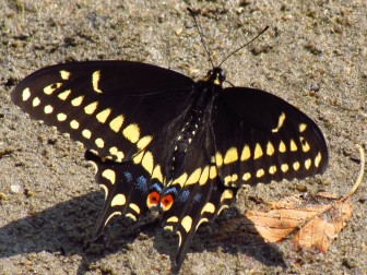 A black swallowtail. Image: Creative Commons