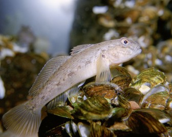 Round goby and zebra mussels. Image: U.S. Fish and Wildlife Service