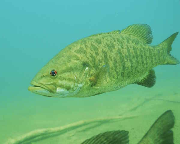 Smallmouth bass. Image: U.S. Fish and Wildlife Service
