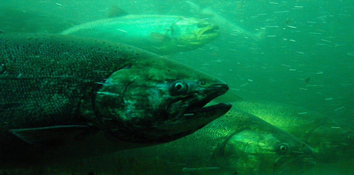 Chinook cuts worry anglers on great lakes great lakes echo for Fish hatchery michigan