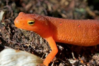 Eastern Red Spotted Newt Flickr Distant Hill Gardens