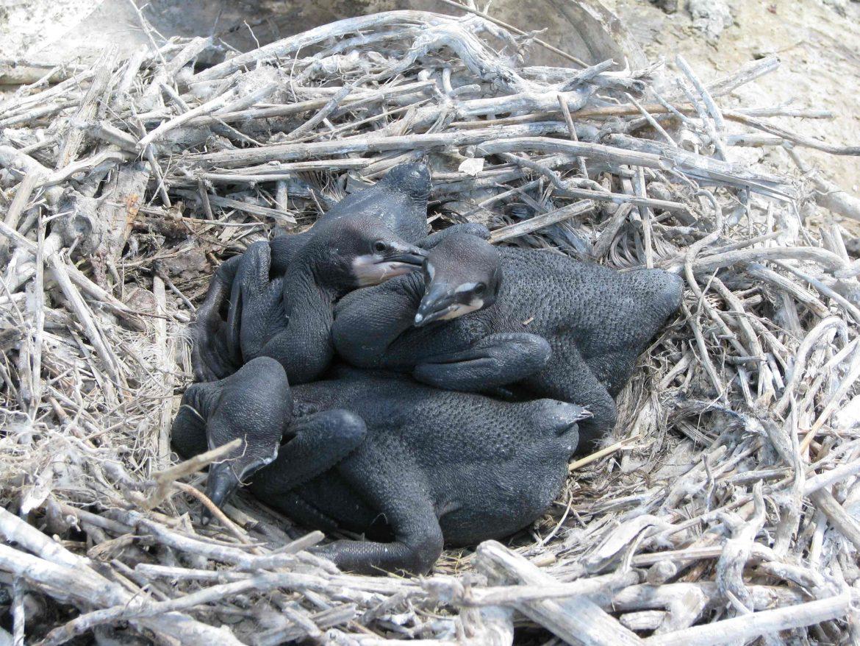 Cormorant chicks. Image: Patrick Madura