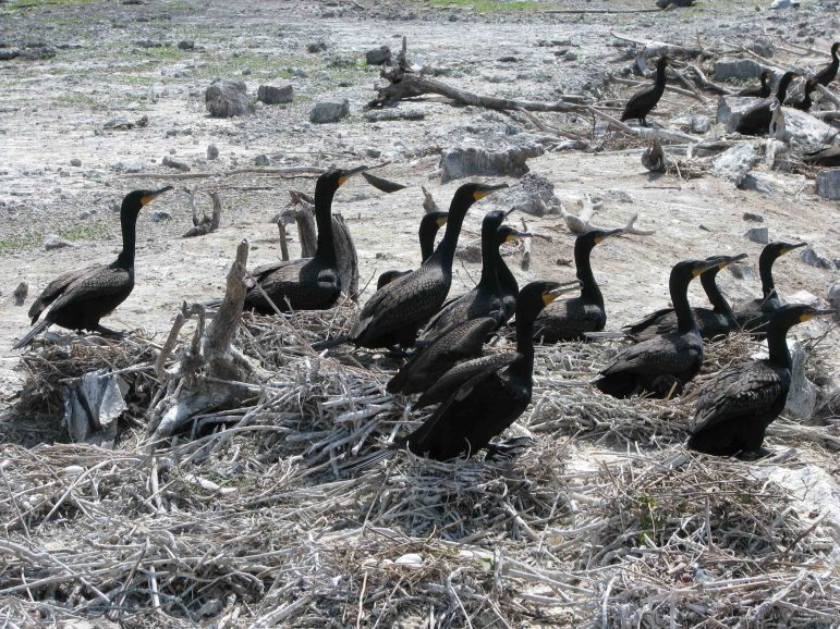 Cormorants at an East Chicago colony. Image: Patrick Madura