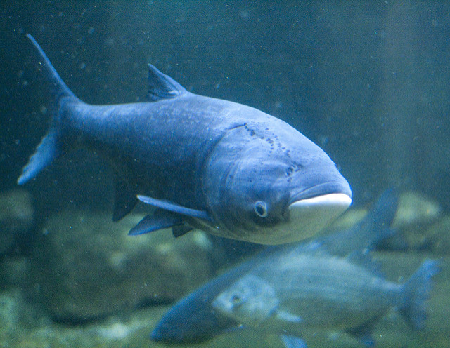 An Asian carp swims in Chicago's Shedd Aquarium. Image: Kate Gardiner