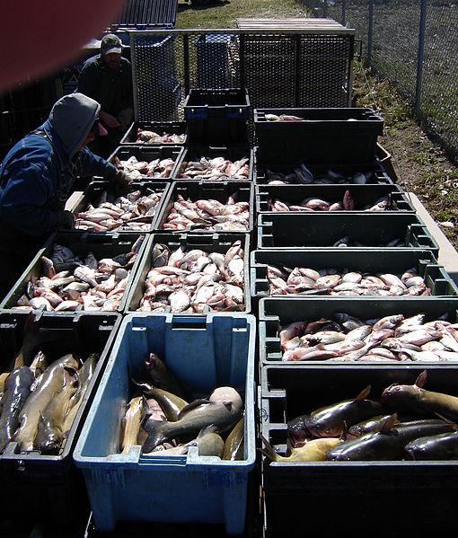 Lake Erie white bass and catfish bound for New York supermarkets. Image: Mike Sharp via wikimedia