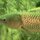 Grass carp. Image: Eric Engbretson via Wikimedia