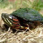 Painted turtles bring color to golf course greenery. Image: E. Eskew.