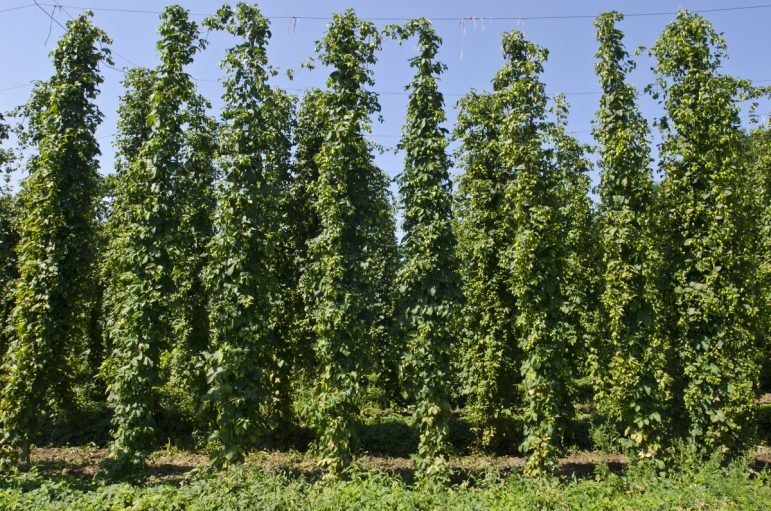 Hop plants, such as these at K&K Farm in Suttons Bay, Michigan, grow to be about 18 feet tall. Image: Gary Howe