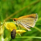 The Poweshiek Skipperling is an endangered butterfly that lives mainly in prairie fen wetlands in southeast Michigan. Image: Dave Cuthrell, MSU Extension.