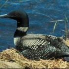 Call me, maybe…or if you're a common loon, then definitely. Image: US FWS.