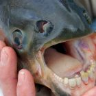 Pacu Fish. Image: Thinking Humanity.
