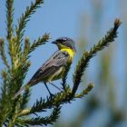 The Kirtland's Warbler was on the verge of extinction 50 years ago. It breeds almost exclusively in Michigan. Image: Dan Kennedy, Michigan DNR.