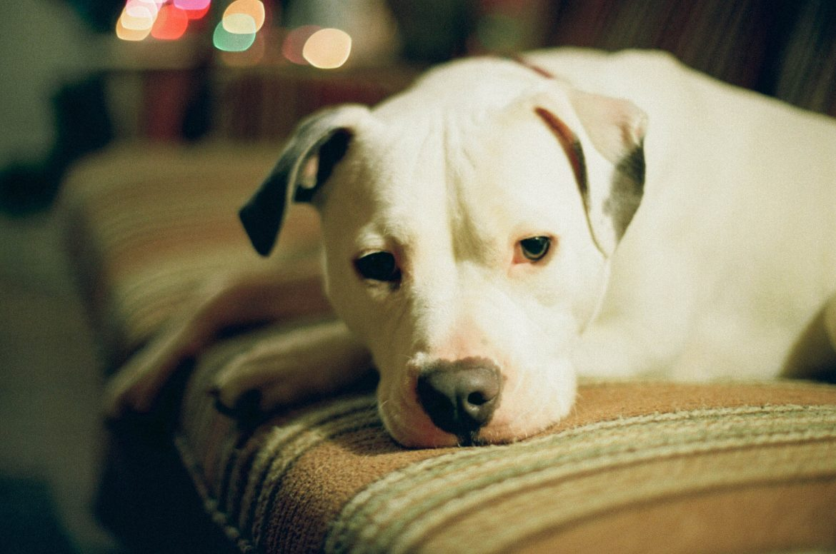 Pit bulls are among the breeds considered to have dangerously aggressive tendencies. Image: Marie Orttenburger.