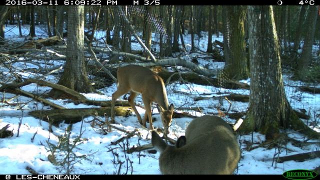 White-tailed deer are eating saplings in northern Wisconsin forests.