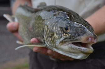 Trout have elevated levels of PCBs because they are fatty. So do Salmon. Image: USFWS Midwest.