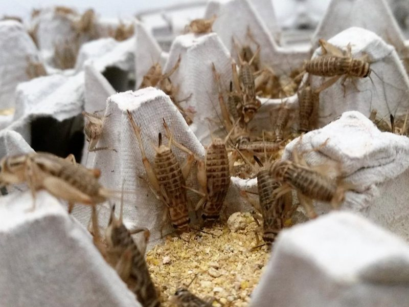 Crunchy Critter Farms in Akron, Ohio will offer online sales of live crickets starting in November. Image: James Williams