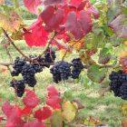 Michigan grapes. Image credit: Steven Schultze.