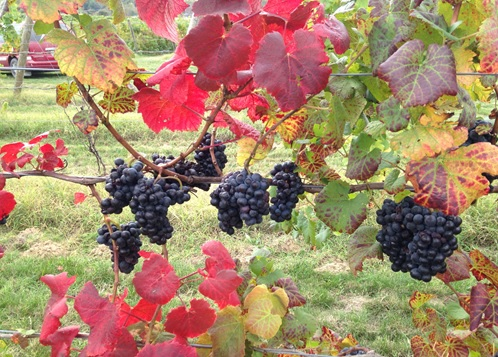 Michigan grapes. Image credit: Steven Schultze.