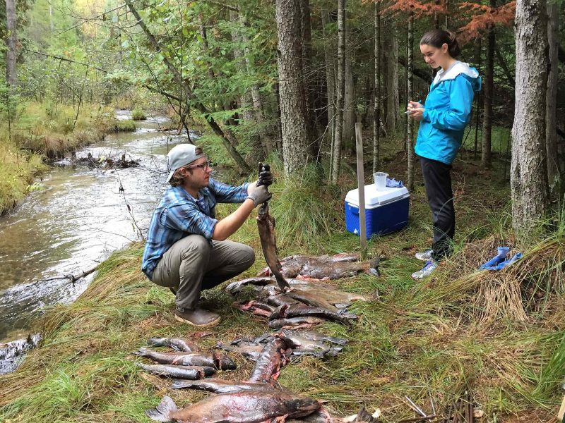 Researchers from the University of Notre Dame weigh samples from Chinook salmon. Image: Brandon Gerig