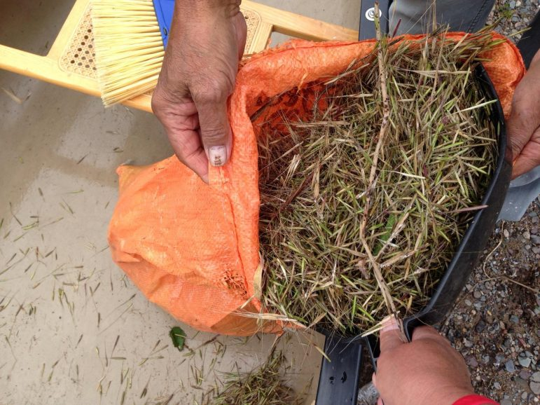 Wild rice, or manoomin, is a traditional food for many Native Americans. Photo: Barb Barton