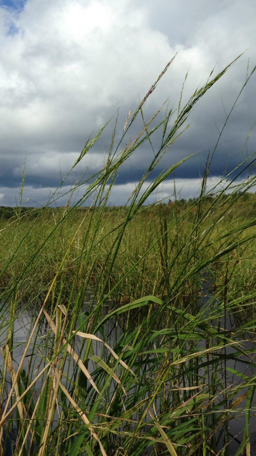 Restoring wild rice beds takes years of re-seeding and management. Photo: Barb Barton