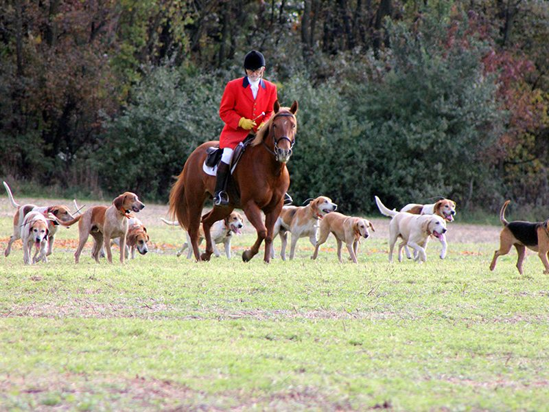 Bob Carr, huntsman of Battle Creek Hunt, rides in a field in Augusta, Michigan with the hunt's hounds. Photo: Karen Hopper Usher