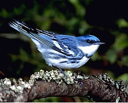 Wildlife officials say the migratory, cerulean warbler is experiencing one of the fastest declines of the warbler family. It nests in the oak forests of southeastern Ohio. Image: Wikimedia Commons