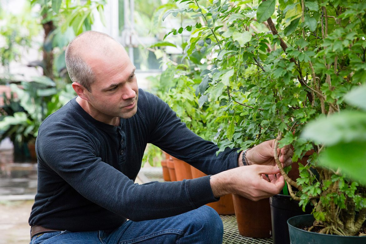 Research Steven Karlen is studies plants in a greenhouse lab.  Image:Great Lakes Bioenergy Research Center