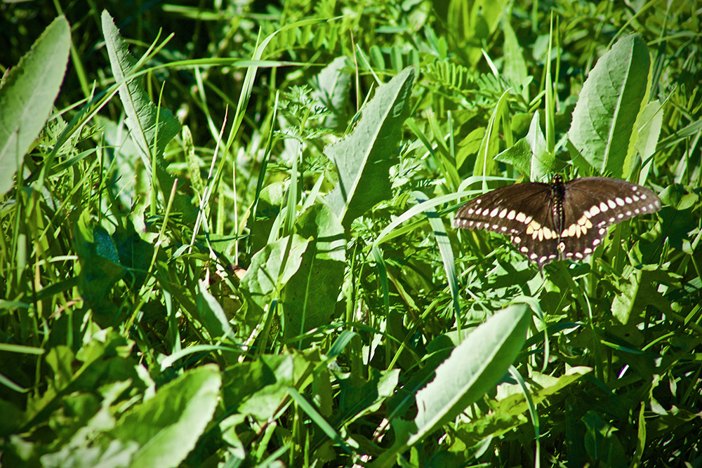A butterfly rests in the grass on the edge of the St. Clair River in Sarnia. Due to wildlife projects by the Friends of the St. Clair River, wildlife habitat is being restored near the river, resulting in wildlife such as the bald eagle returning to the area. Image: Megan McDonnell
