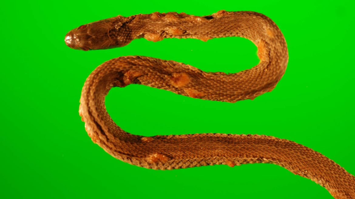 infected-northern-water-snake_de-green