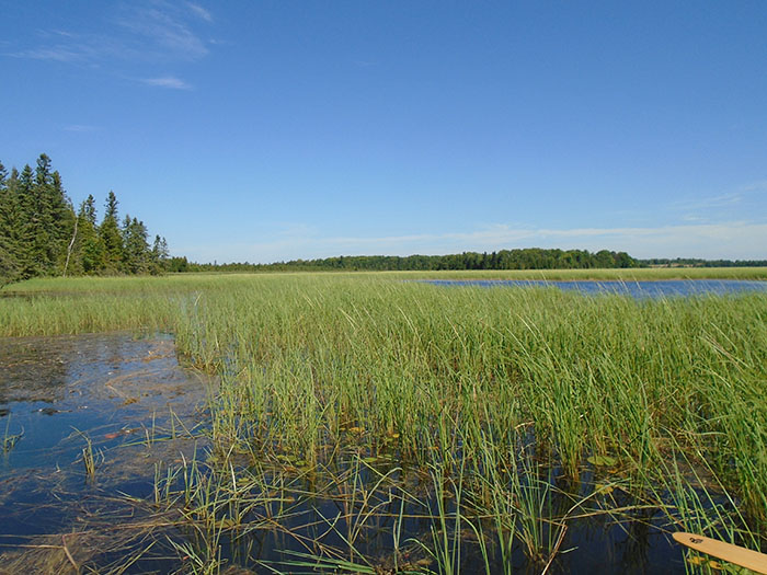 Wild rice now grows prolifically in the Kawartha Lakes region, concerning residents in the area. Image: Jeff Beaver