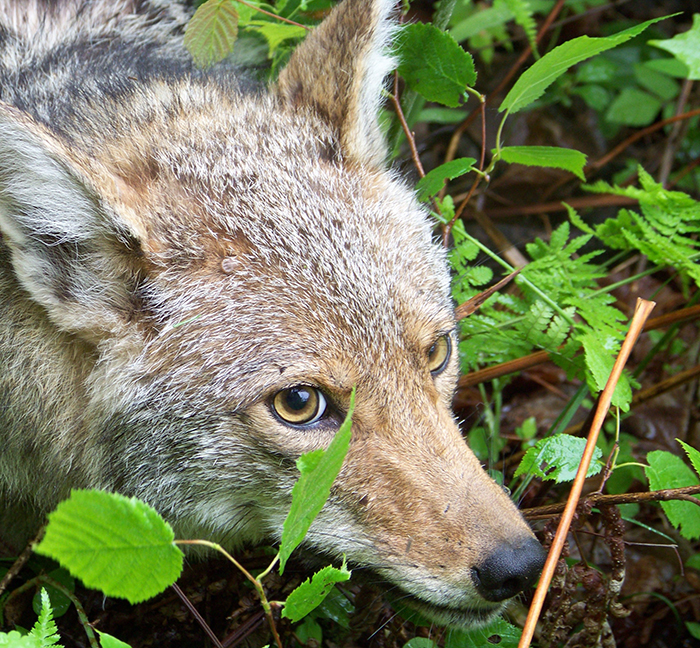 coyote in foliage