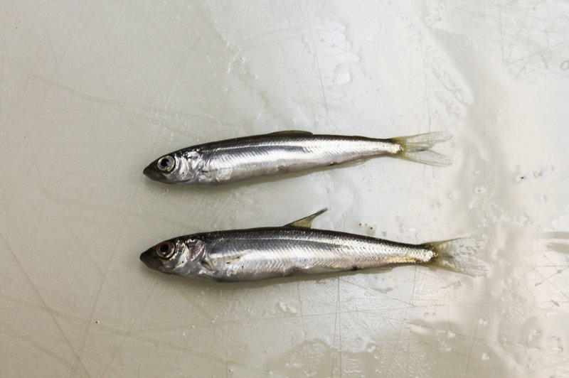 The lake herring, also called cisco, is similar to herring found in northern Europe used to make a popular caviar. Image: Peter Payette