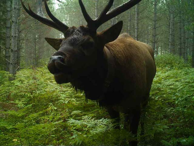 Collaboration Helps Michigan Wisconsin Celebrate Elk Management Milestones Great Lakes Echo