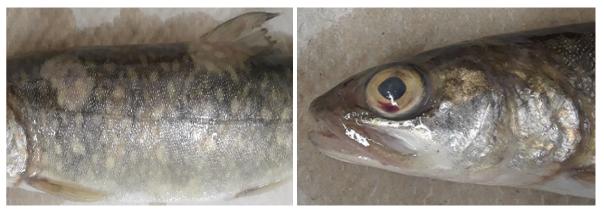 Deadly Fish Virus Returns To Northern Michigan Hatchery Great