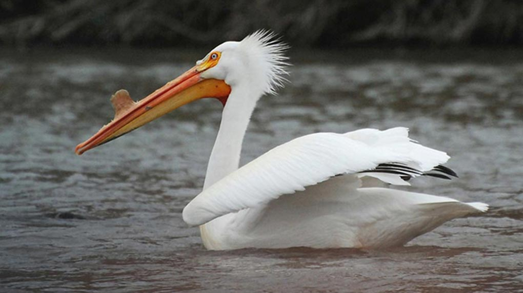 White pelicans extend their Great Lakes range, study finds