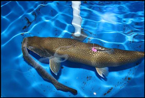 Parasitic Sea Lamprey, What Is A Lamprey Fish