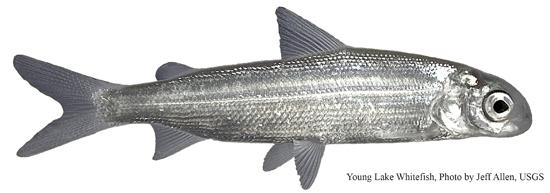 A young lake whitefish